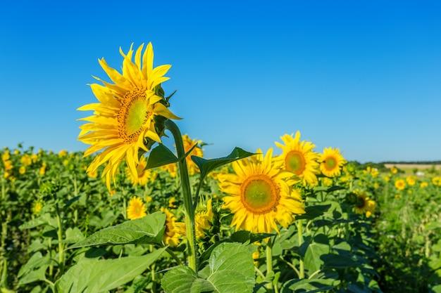 Żółte pole słoneczników