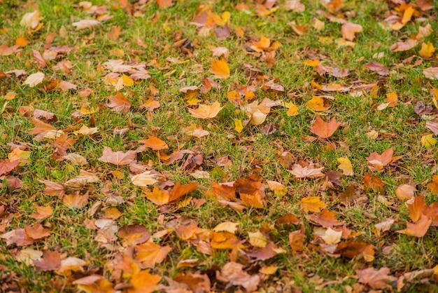 Żółte, pomarańczowe i czerwone jesienne liście w pięknym parku jesienią. spadające jesienne liście.