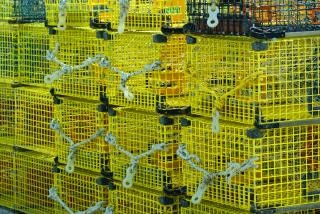 Żółte pułapki homara