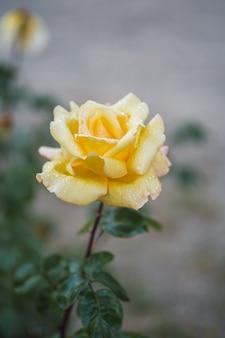 Żółte róże na świeżym zielonym liściu.