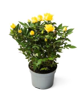Żółte róże w garnku na białym tle