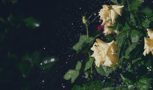 Żółte róże w ogrodzie w deszczu, spadają krople