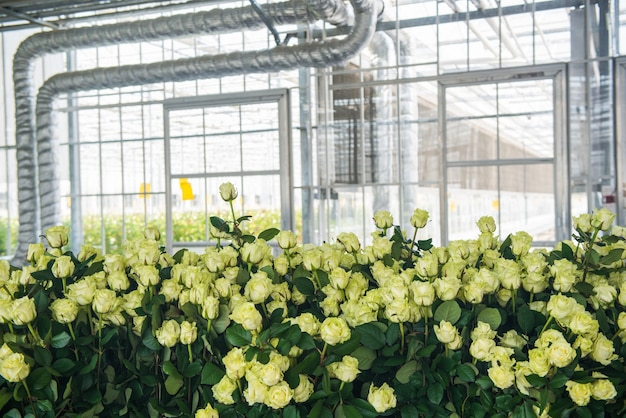 Żółte róże w szklarni w pomieszczeniu na tle rur, zbliżenie