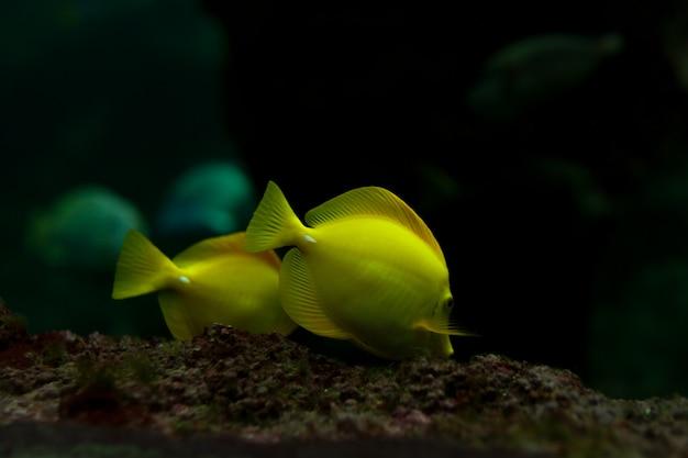 Żółte ryby tropikalne spotykają się w akwarium morskim z błękitną rafą koralową