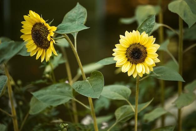 Żółte słoneczniki kwitną latem w ogrodzie