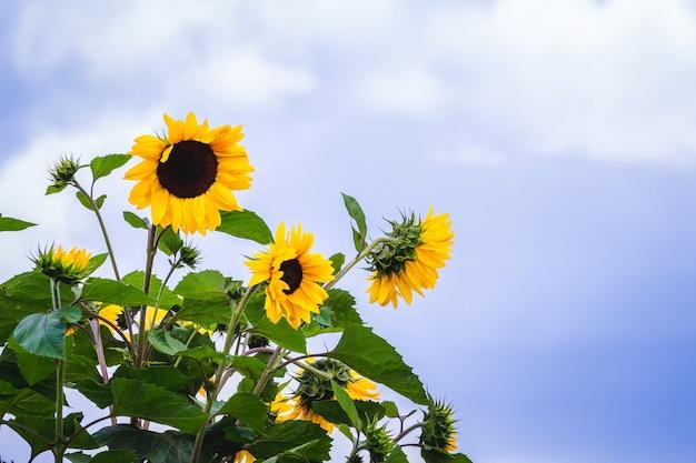 Żółte słoneczniki na jasnoniebieskim tle nieba z chmurami