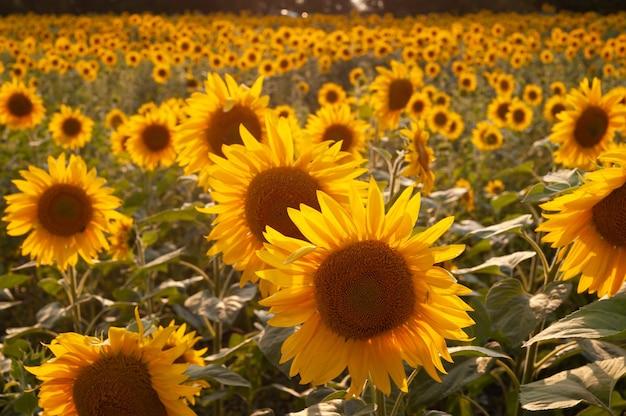 Żółte słoneczniki. pole słoneczników, wiejski krajobraz.