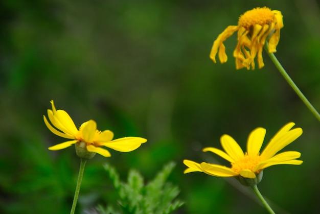 Żółte stokrotki