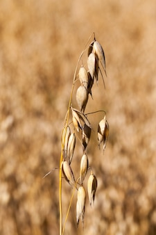 Żółte suche łodygi owsa w okresie dojrzewania i gotowości do zbioru, zbliżenie zbiorów rolniczych