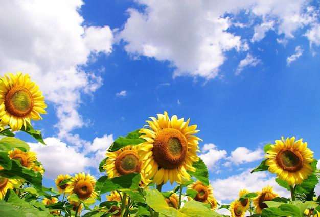 Żółte tło słonecznika i błękitne niebo