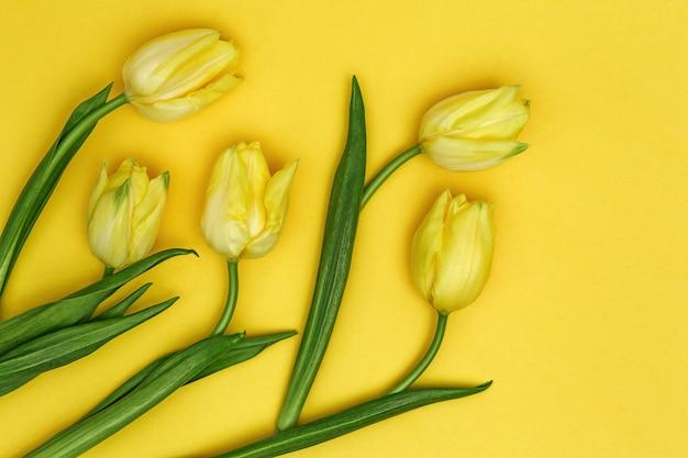 Żółte tulipany jaskrawy wiosny kwitnienie kwitnie z kopii przestrzenią. naturalne tło kwieciste. leżał płasko.