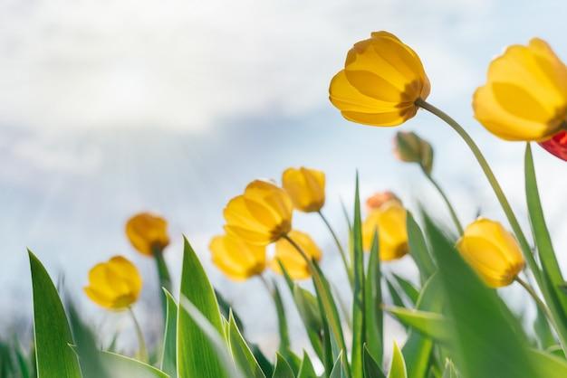 Żółte tulipany kołyszące się na wietrze przed zachmurzonym błękitnym niebem