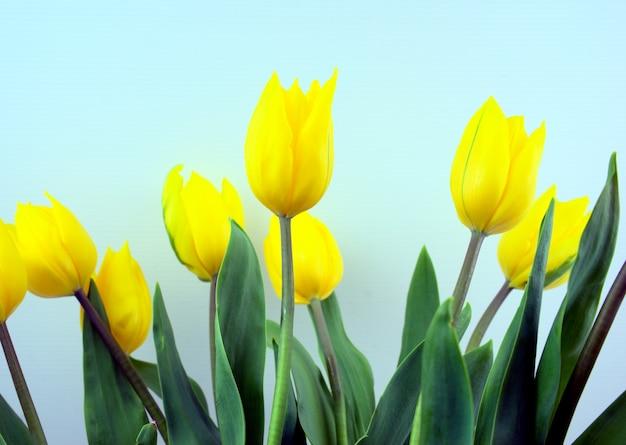 Żółte tulipany kwiatowe z jasnoniebieskim kolorem tła.