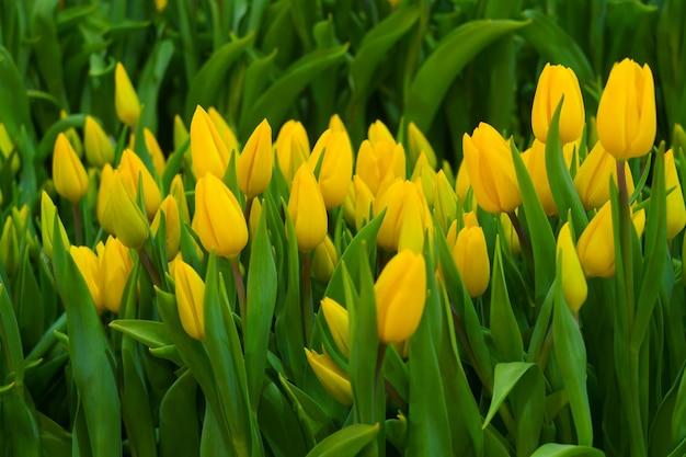 Żółte tulipany w ogrodzie kwiatowym.