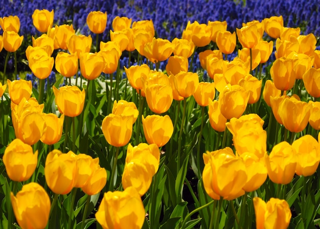 Żółte tulipany w parku keukenhof
