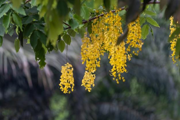 Żółte uporządkowane kwiaty drzewa kiełbasianego