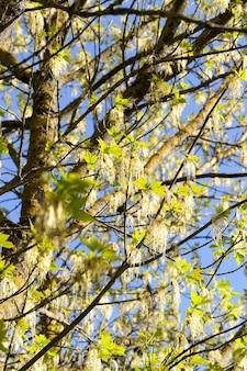 Żółte zielone kwiaty klonu w sezonie wiosennym w lesie lub parku, zbliżenie na tle błękitnego nieba