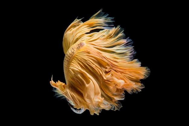 Żółte złoto betta ryb, bojownik syjamski na czarnym tle