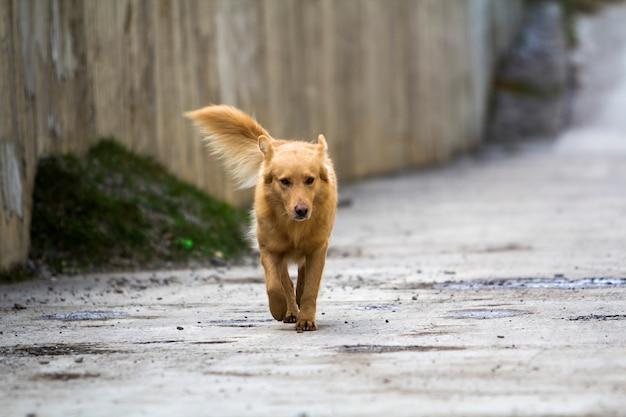 Żółtego psa zwierzę domowe z bufiastym ogonem outdoors