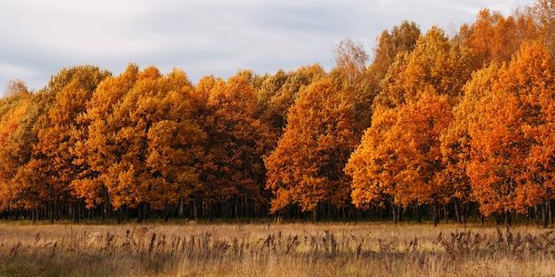 Żółtej jesieni tła lasowa panorama