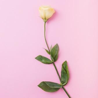 Żółtej róży gałązka na różowym tle