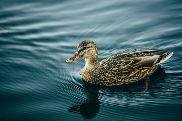 Żółto-brązowy kwak na jeziorze
