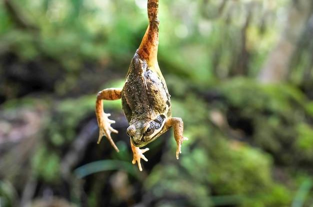 Żółto-czarna żaba na powierzchni lasu do góry nogami, którą trzyma łapka. powierzchnia halloween