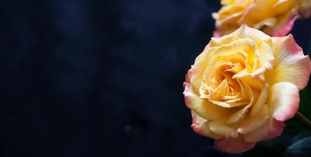Żółto-pomarańczowa róża z bliska na ciemnym tle