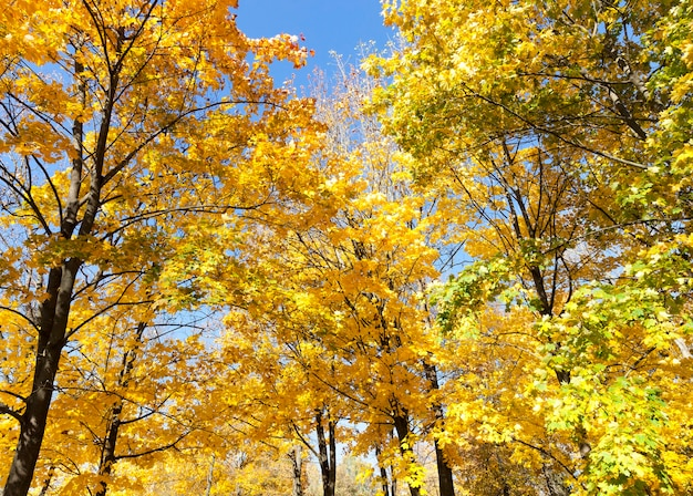 Żółto-pomarańczowe klony w jesiennym parku, ciepła pogoda, wierzchołki pięknych drzew