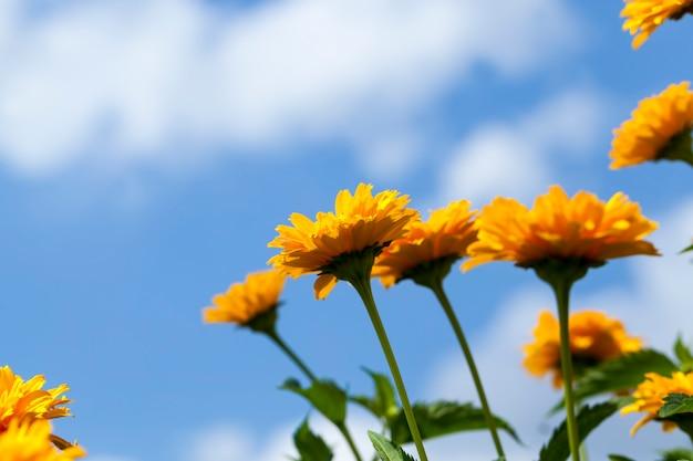 Żółto-pomarańczowe kwiaty latem