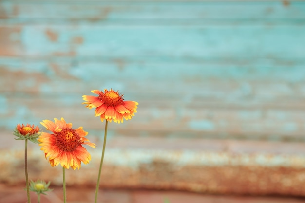 Żółto-pomarańczowe kwiaty przed turkusową, wytartą starą ścianą. skoncentruj się w lewym rogu na