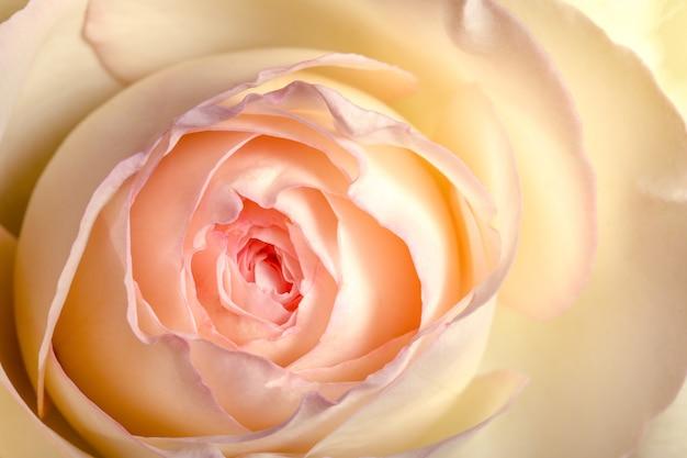 Żółto-różowy jasny kwiat róży, zbliżenie, naturalne tło.
