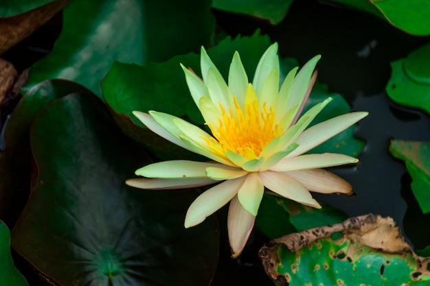 Żółto zielone kwiaty lotosu i żółte pręciki. w stawie z liśćmi lotosu.