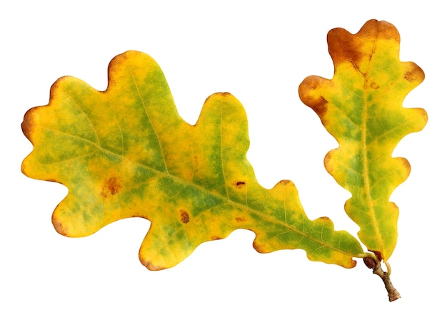 Żółto-zielone liście dębu na białym tle. jesienny liść na gałęzi. opadające liście.