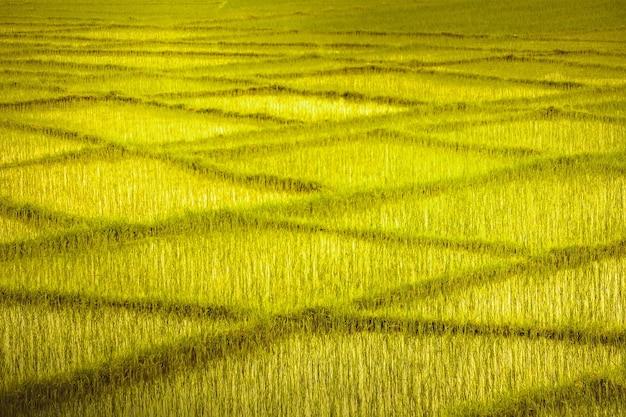 Żółto-zielone pola pszenicy z przecinającymi się rzędami przypominającymi prostokątny wzór. idealne tło dla kolaży, ilustracji lub cyfrowych zasobów multimedialnych. retusz artystyczny.