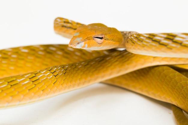 Żółty azjatycki wąż winorośli hypo ahaetulla prasina na białym tle