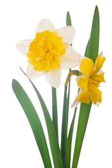 Żółty bukiet żonkila na białym tle na białym tle.