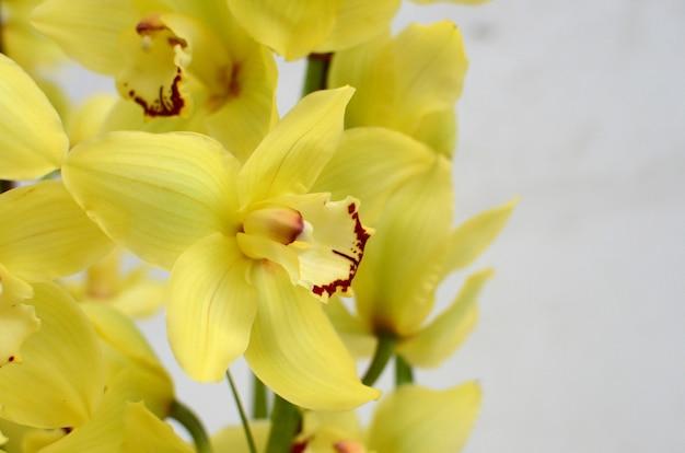 Żółty cymbidium kwiat na białym tle