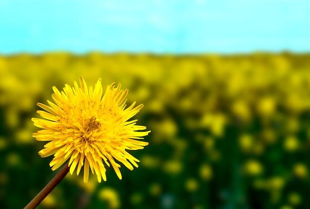 Żółty dandelion kwitnie na zielonej trawie