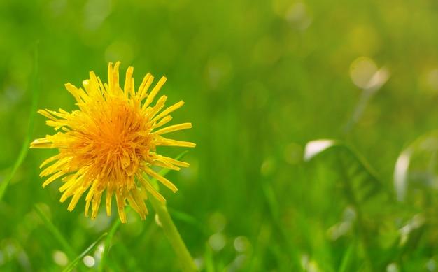 Żółty dandelion na zielonym gazonie
