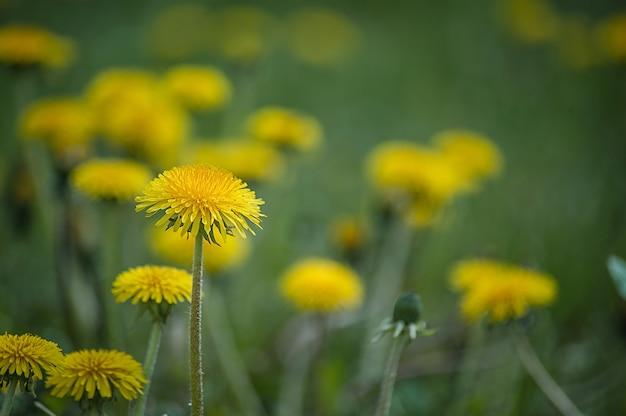 Żółty dandelion zbliżenia stamen