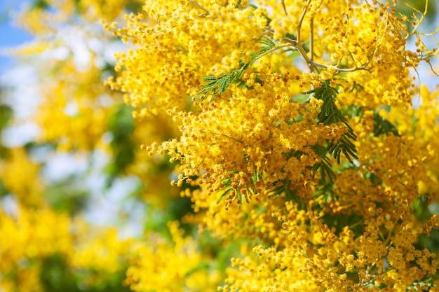 Żółty dealbata akacji