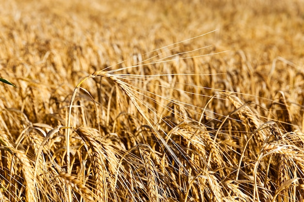 Żółty dojrzałe żyto zbliżenie złoty kolor zbiorów zbóż