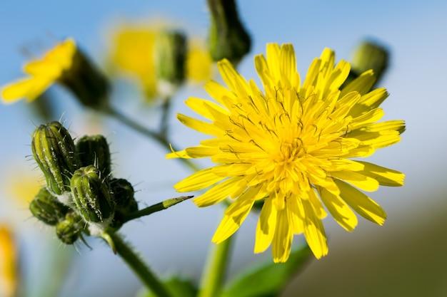 Żółty, gładki kwiat ostu, sonchus oleraceaus, kwitnący na wyspach maltańskich
