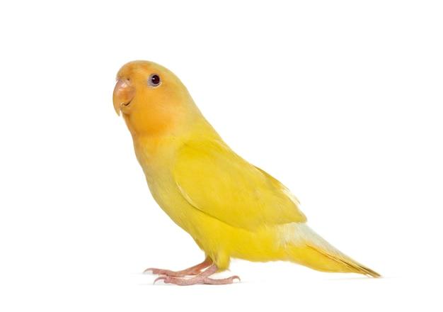 Żółty gołąbek na białym tle