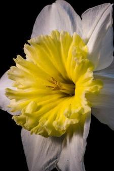 Żółty i biały kwiat z bliska