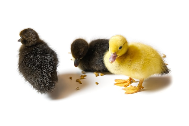 Żółty i brązowy noworodka kaczątko zbliżenie na białym tle