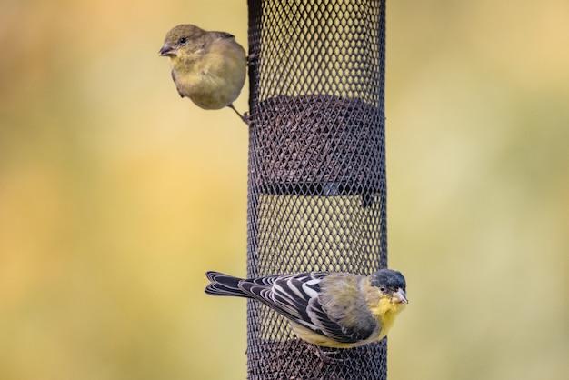 Żółty i czarny ptak na czarnej sieci