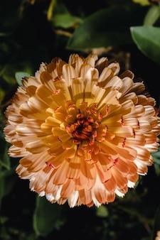 Żółty i różowy kwiat w makro