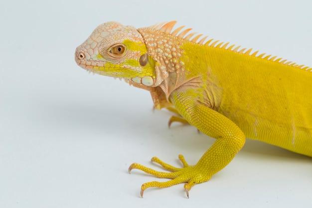 Żółty Iguana Albinos Na Białym Tle Premium Zdjęcia